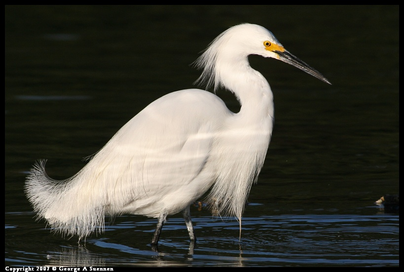 0322-182332-01.jpg - Snowy Egret - Berkeley Aquatic Park - Mar 22, 2007