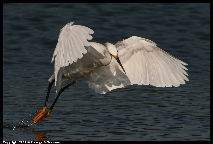 0416-174246-02.jpg - Snowy Egret - Berkeley Aquatic Park - Apr 16, 2007