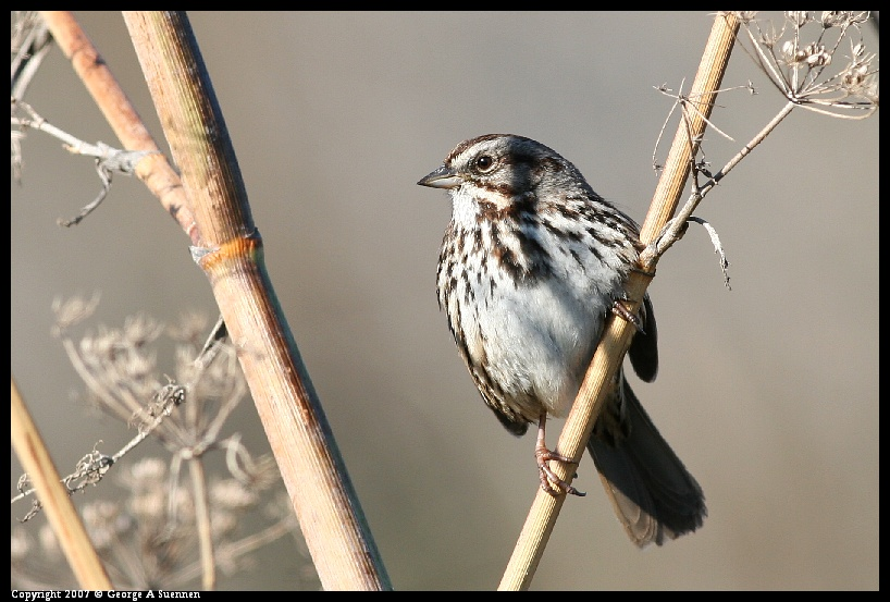 Sparrows: Song, White-crowned, and ? -- Birds in ...