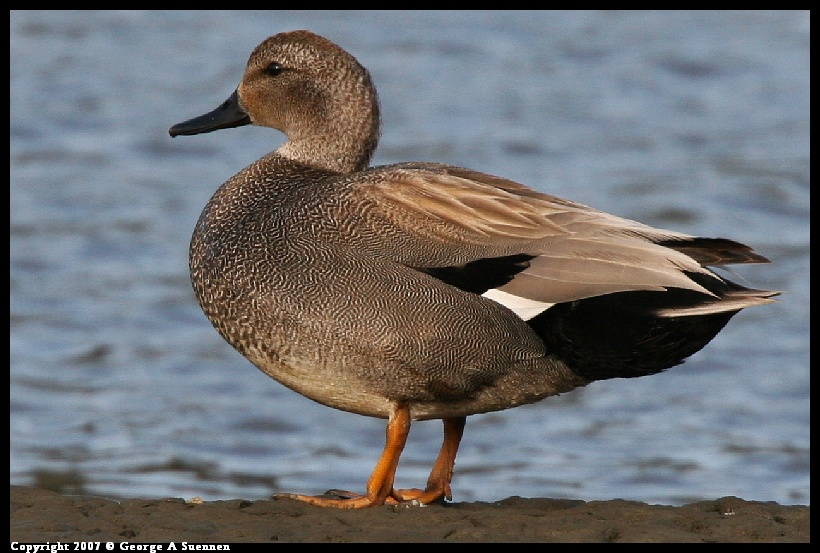 Ducks: Gadwall, Teal, and Wigeon -- Birds in photography ...