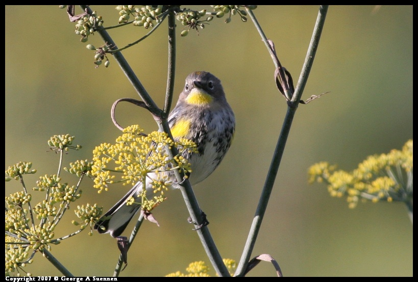 1208-153522-01.jpg - Yellow-rumped Warbler - Albany Plateau - Dec 8, 2007