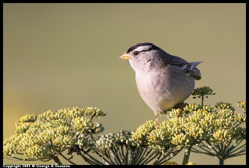 1208-161102-01.jpg - White-crowned Sparrow - Albany Plateau - Dec 8, 2007